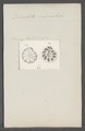 Discorbites vesicularis - - Print - Iconographia Zoologica - Special Collections University of Amsterdam - UBAINV0274 113 04 0022.tif