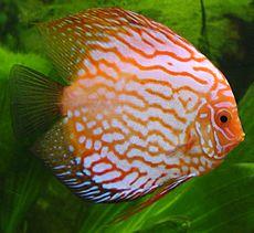 Symphysodon wikipedia for Pesce discus