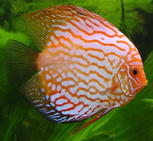 Cichlid - The discus, Symphysodon spp., has been popular among aquarium enthusiasts.