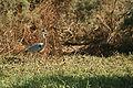Djoudj - Oiseau (7).JPG