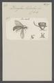 Dorylus - Print - Iconographia Zoologica - Special Collections University of Amsterdam - UBAINV0274 043 02 0002.tif