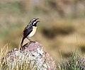 Drakensberg rockjumper 2012 11 10 1386.jpg