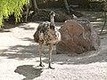Dromaius novaehollandiae - Emu - émeu - 01.jpg