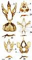 Druenticinae (10.3897-zookeys.815.27335) Figures 22–26.jpg
