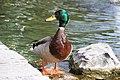 Duck in Canary.jpg