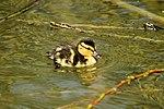 Duckling - Rutland Water (16591432064).jpg