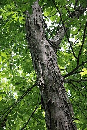 Duke Forest -  Shagbark hickory, in Duke Forest