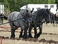 Dutch Draft Horse Team.jpg