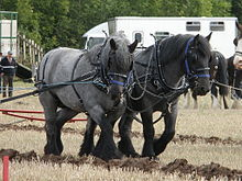 Hitched pair at a ploughing contest near Studley,Warwickshire