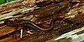 Dwarf Salamander (Eurycea quadridigitata) Polk Co. Texas. W. L. Farr.jpg