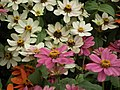 Dwarf Zinnia from Lalbagh flower show Aug 2013 8244.JPG
