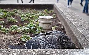 Dying pigeon at place de la Bourse, Brussels (DSCF4395).jpg