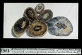 ETH-BIB-Arthropitys bistriata, Chemnitz (Sammlung Zacharias, Dresden)-Dia 247-01767-1.tif