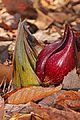 Eastern Skunk Cabbage - Symplocarpus foetidus, Julie Metz Wetlands, Woodbridge, Virginia.jpg