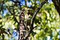 Eastern wood-pewee (30108657622).jpg