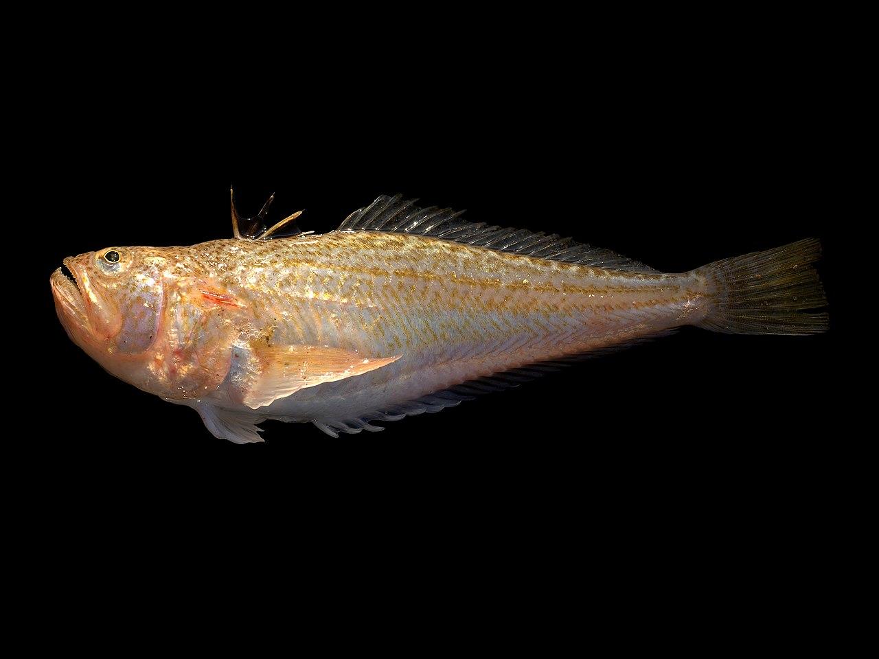 Echiichthys vipera