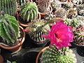 Echinopsis (3644646873).jpg