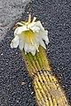 Echinopsis spachiana 01.jpg