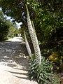 Echium simplex 5a.jpg