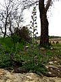Echium vulgare (8738735607).jpg