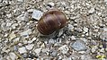 Edible snail (Grubigstein) (15658195896).jpg