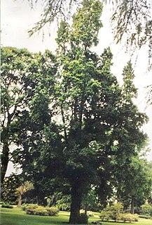 <i>Ulmus minor</i> Monumentalis Elm cultivar