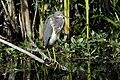 Egretta tricolor-001.jpg