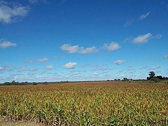 Bovril, Argentina - Field of sorghum near Bovril