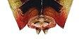 Elasmostethus minor m genitals.jpg