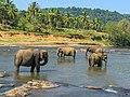 Elephants-Sri-Lanka-pinnawala.jpg