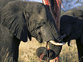 Elephants eating (Loxodonta Africana) (Kruger National Park, 2002) 04.jpg