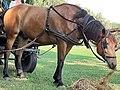 Em - Equus caballus - 44.jpg