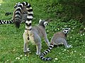 Em - Lemur catta - 17.jpg