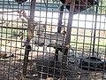 Em - Panthera leo melanochaita - 2.jpg