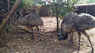 Parassinikkadavu Snake Park - Image: Emu at a zoo