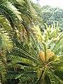 Encephalartos altensteinii KirstenboshBotGard09292010P.JPG