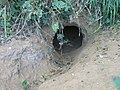 Entrance to badger set on footpath - geograph.org.uk - 602845.jpg