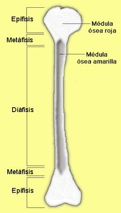 Partes del hueso