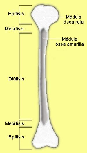 Diáfisis