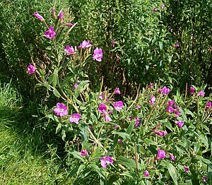 Epilobium - Epilobium hirsutum (great willowherb)