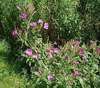 Epilobium - Epilobium hirsutum (great willowherb)