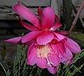 Epiphyllum 2015-06-01 OB 245.jpg