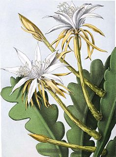 Hylocereeae tribe of cacti
