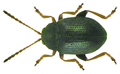 Epitrix pubescens (Koch, 1803).png