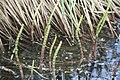 Equisetum fluviatile - img 20889.jpg