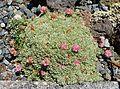 Eriogonum ovalifolium - UBC Botanical Garden - Vancouver, Canada - DSC08349.jpg