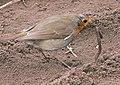 Erithacus rubecula with earthworm, Roodborstje met regenworm (1).jpg