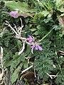 Erodium cicutarium 110728423.jpg
