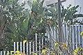Erythrina flabelliformis-2504.jpg