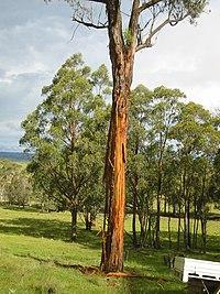 Eucalyptus caliginosa